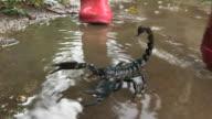 Red wellington boots splash past large scorpion in puddle. Heterometrus sp.