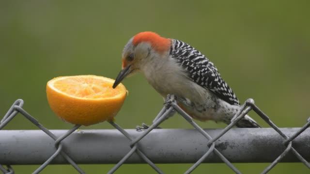 redbellied-woodpecker-eating-an-orange-video-id475251502?s=640x640