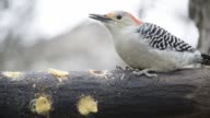 Red-bellied woodpecker eating