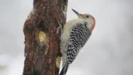 Red-bellied woodpecker in falling snow