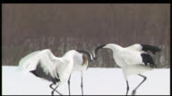 Red-crowned cranes perform elegant mating ritual, Kushiro, Hokkaido, Japan