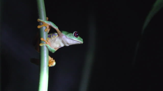 Red-eyed Green Tree Frog at Night
