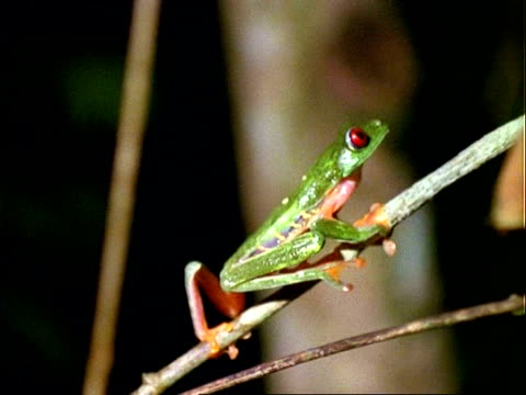 Red-eyed tree Frog (Agalychnis callidryas), climbs branch, close up
