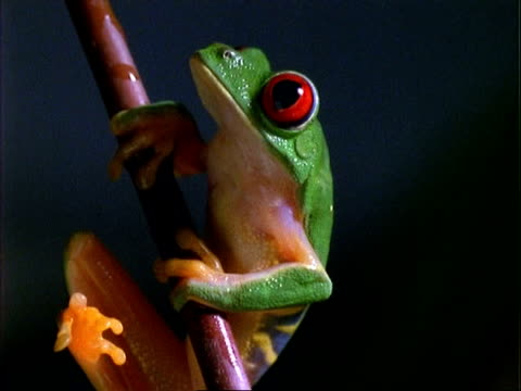 Red-eyed Tree Frog, CU frog on stalk, tilts to feet.  Panama.