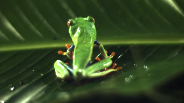 A red-eyed tree frog leaps from a leaf.