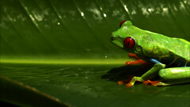 A red-eyed tree frog leaps from its broad leaf perch.