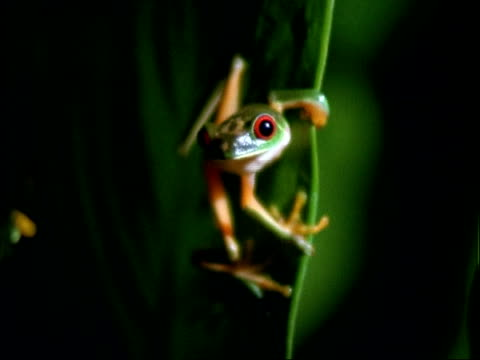 Red-eyed Tree Frog, MWA 2 frogs on leaves, zooms in on one frog, pans left to other.  Panama.