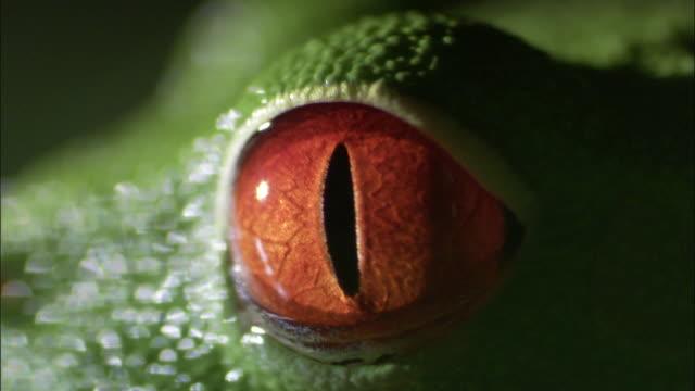 Red-eyed tree frog (Agalychnis callidryas) on leaf, Costa Rica