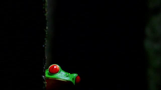 rode-ogen boomkikker