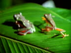 Red-eyed tree Frogs (Agalychnis callidryas), male and female frog walk up leaf, close up