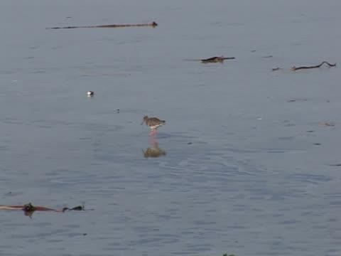Redshank, on quiet beach, driftwood, exploration, calm, tranquil