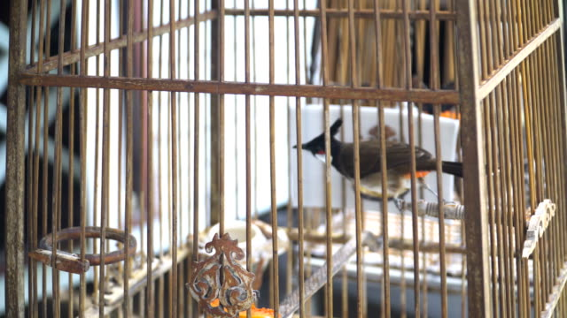 Red-whiskered bulbul birds  finding the freedom in cage