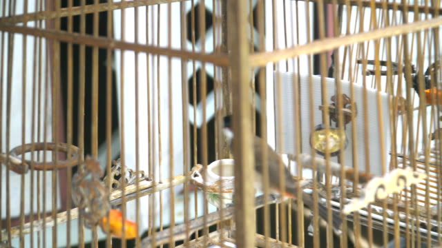 Red-whiskered bulbul birds in cage