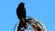 Red-winged Blackbird calling out atop a dead palm