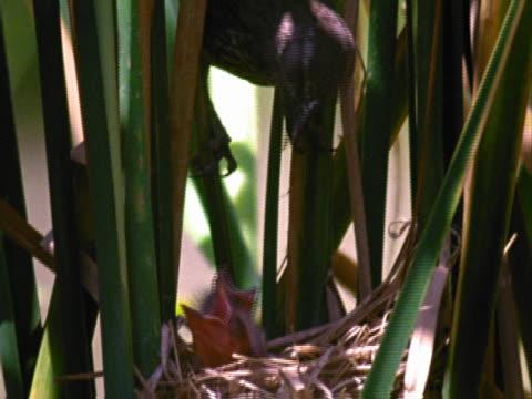 Red-winged blackbird feeding babies