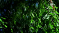 Redwood. Nature background