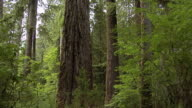 MS, Redwood Trees, California,  USA