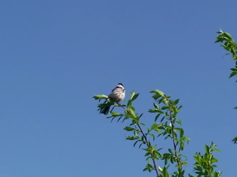 Reed Bunting Bird on the Calling Treetop