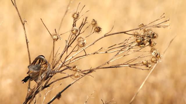 Reed bunting - singing male - spring