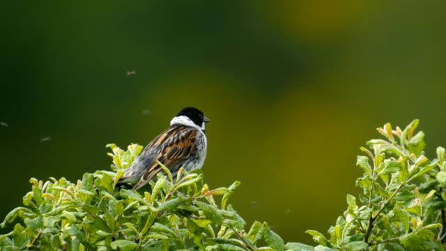 Reed bunting singing on tree - Emberiza schoeniclus, Scotland
