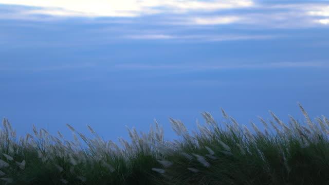 reeds over sunset and clody sky