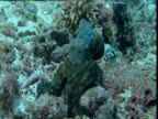 Reef fish surround octopus causing it to change colour and texture, Sipadan