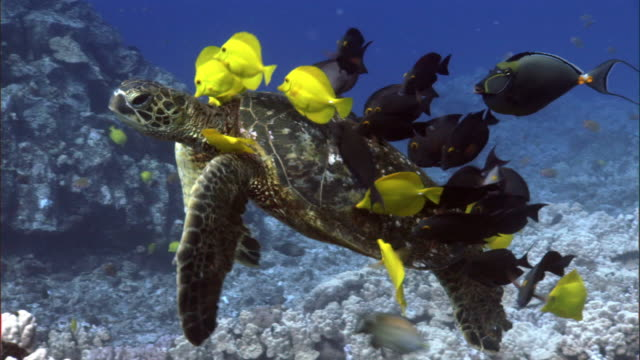 Reef fishes clean green sea turtle (Chelonia mydas) on coral reef, Hawaii