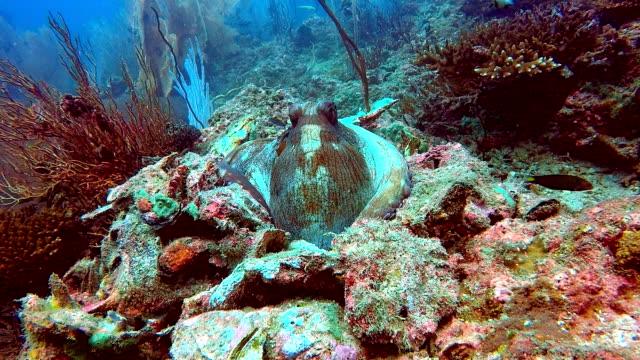Rif Octopus (Octapus cyanea) gecamoufleerd in koraalrif