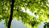 HD: Reflexion von Sonnenlicht auf Baum-Blätter