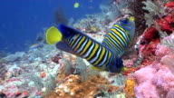 Regal Angelfish at a tropical coral reef 2