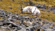 Reindeer grazing near Little Auks nesting colony