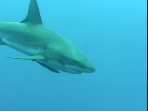 Remoras swim with a shark as it moves past smaller fish.
