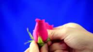 Rimuovi petali di fiore rosa rossa su schermata blu di sfondo