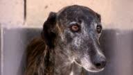 Rescued greyhound at animal shelter.