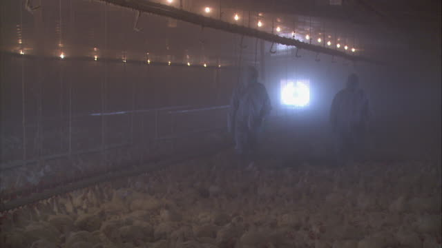 TS USDA researchers wearing protective suiting and masks walking through group of housed chickens at Double Trouble Farm / Rhodesdale, Maryland, United States