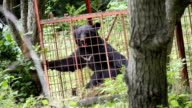 Residents of Jyakumaku a village in Chikumashi Nagano Prefecture woke up on June 16Japanto find an Asiatic black bear trapped in a cage set up to...