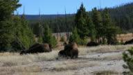 Resting Buffalo - Yellowstone National Park