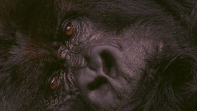 Resting Mountain Gorilla blinks, Volcanoes National Park, Rwanda Available in HD.