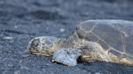 Resting Sea Turtles (Big Island)