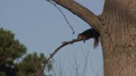 Resting squirrel - HD 1080/60i