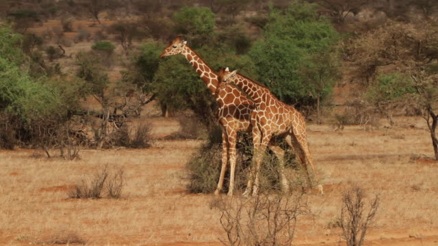 reticulated giraffe (Giraffa camelopardalis reticulata) - males fight
