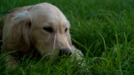 HD: Retriever Puppy Eating Grass Outdoors.