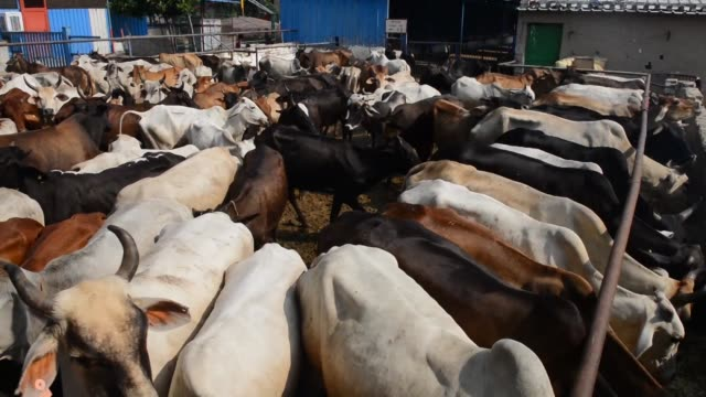 Revered by most Indians cows are at the centre of political battles and lynch mob attacks but they are being abandoned in growing numbers and turned...
