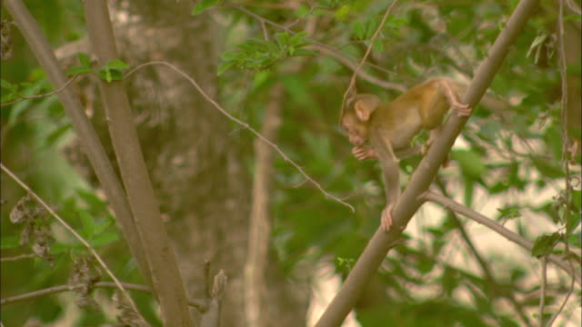 A Rhesus macaque and baby forage in a tree in Pench, India.