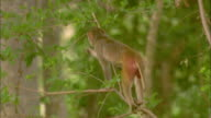 A rhesus macaque and her baby play in a tree in Pench, India.