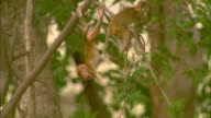 A Rhesus macaque baby plays in a tree in Pench, India.