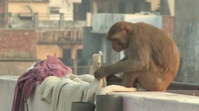 MS, Rhesus macaque (Macaca mulatta) biting button of sweater on rooftop, Varanasi, Uttar Pradesh, India