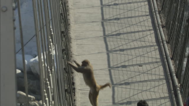 Rhesus macaque descends to bridge footpath, Rishikesh, India Available in HD.