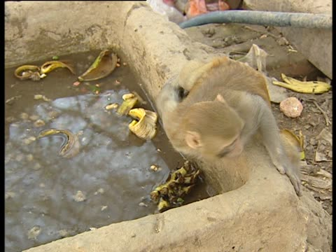 Rhesus macaque drinking from shallow pool of water