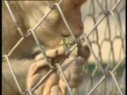 Rhesus macaque eating fruit in cage at monkey sanctuary